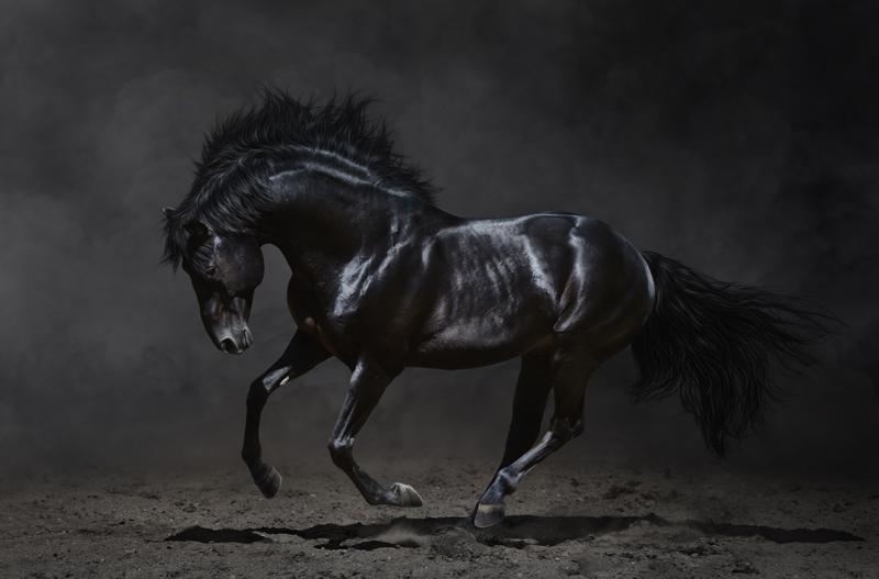 majestueus zwart paard