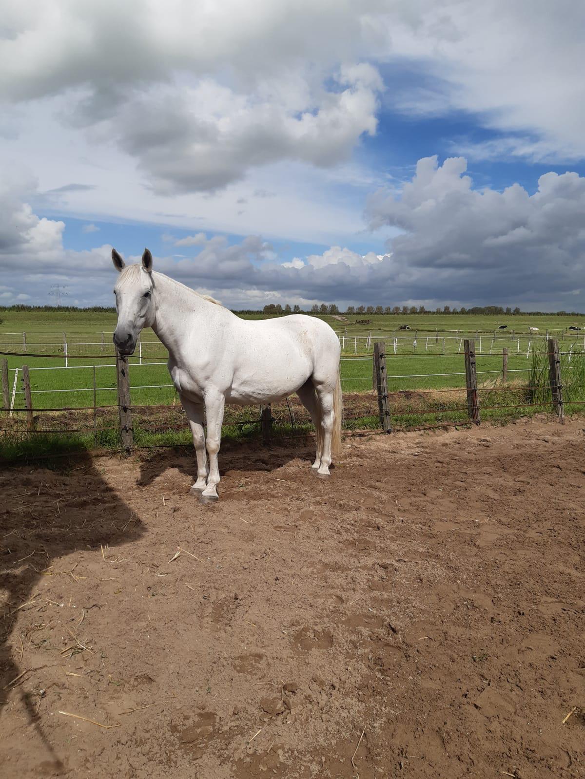 Cloe is een schimmel, een wit paard tegen een groene achtergrand.